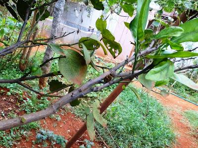 Πολλαπλασιασμός λεμονιάς
