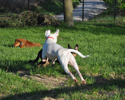 Ziggy playing with other dogs