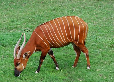 http://4.bp.blogspot.com/-_j9ZRf6uveg/UjwY0ZM7T1I/AAAAAAAAAIs/Gl-c6cm4UCY/s1600/Bongo+Antelope.jpg