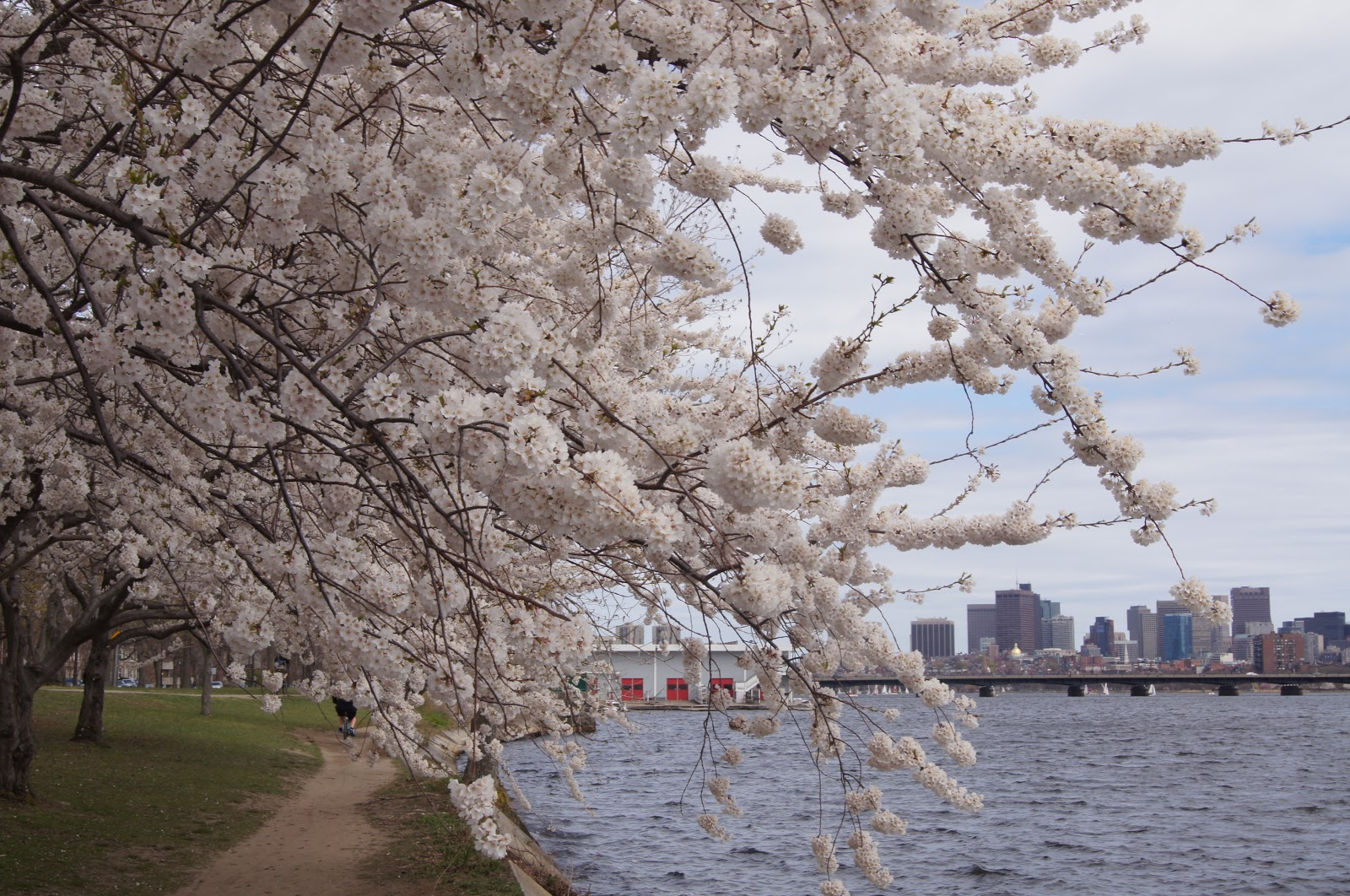 Iced Tea アイスティー Cherry Blossoms In Boston Cambridge Side