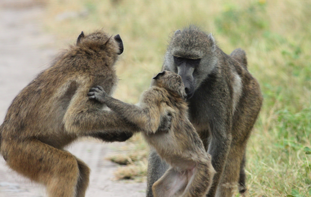 A Baboons But travelswithkath...