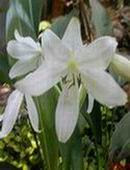 Bunga Bakung Putih