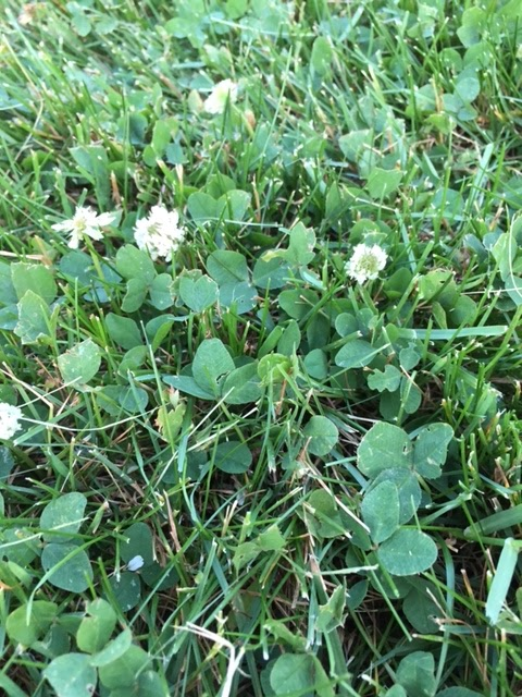 how to get clover out of your lawn