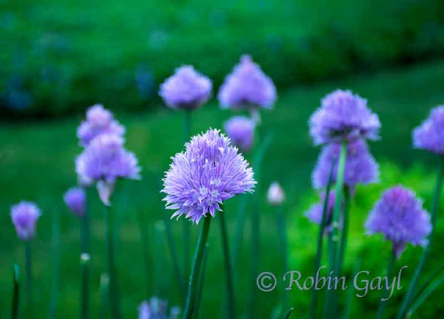 Group of Purple Chives Blooming