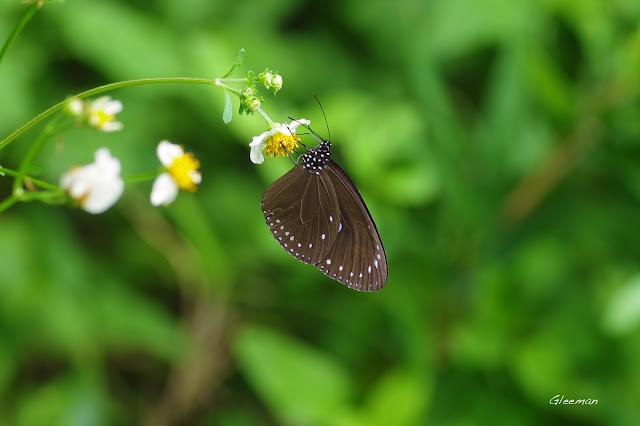 雞南山散步,圓翅紫斑蝶