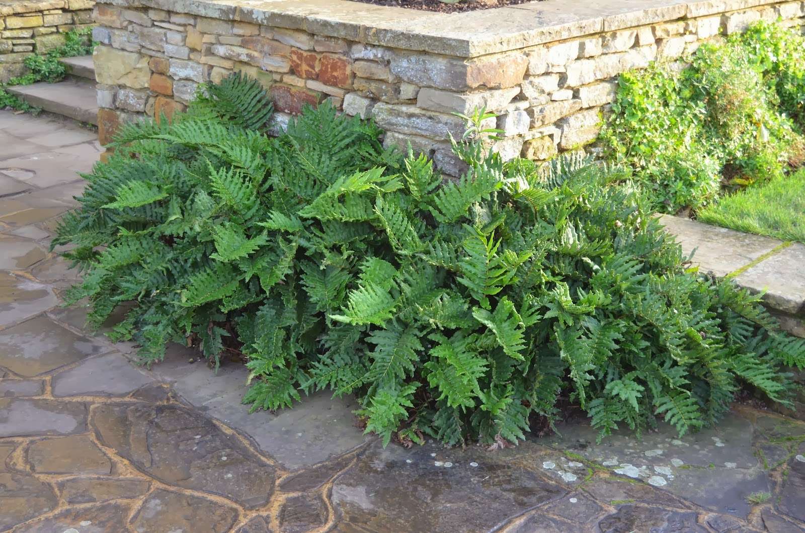 Another great fern chilean hard fern blechnum chilense for Kingsbury garden designs