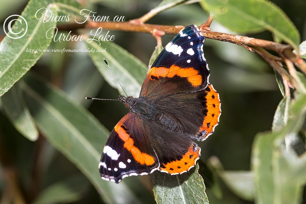 Red Admiral - Ouse Valley, Milton eynes