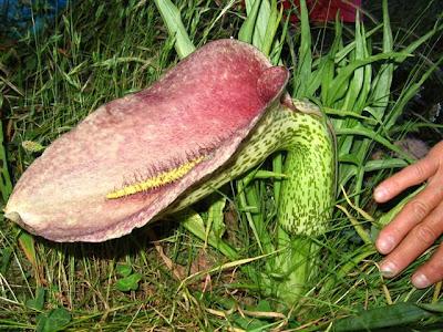 Araceae à Aullène en Alta Rocca en Corse du Sud