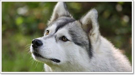 หมาพันธุ์ชิบะ อินุ