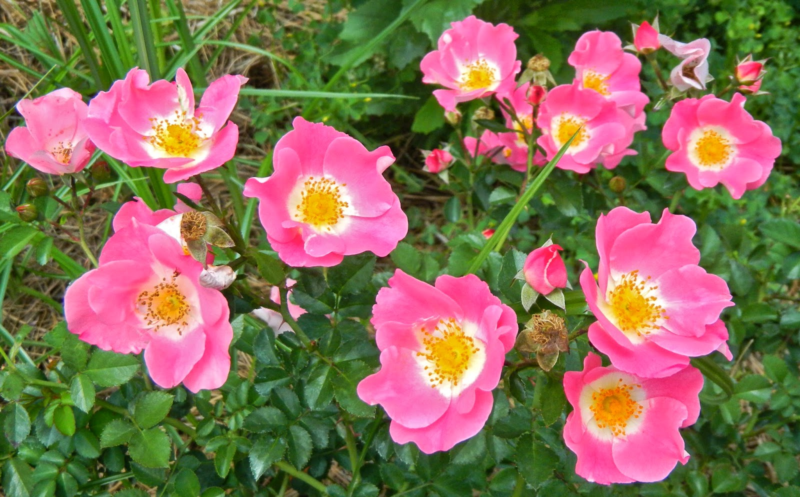 """Carefree Delight"" roses at Edisto Memorial Gardens"