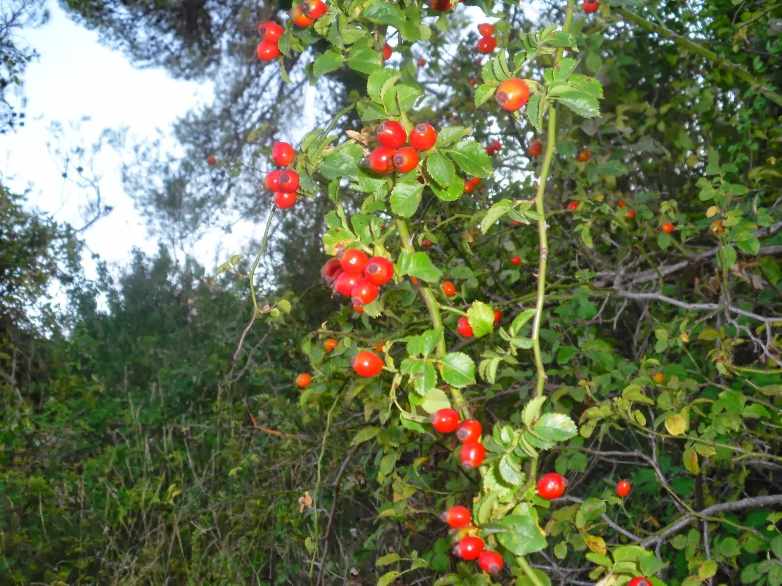 Gavarrera amb fruits