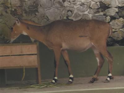 foto nilgai antelope 08