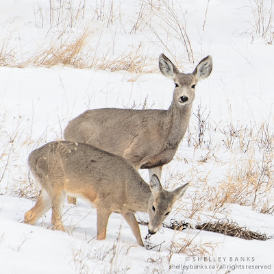 Mule Deer grazing in the Qu'Appelle Valley. Photo © Shelley Banks, all rights reserved.