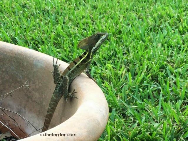 Basilisk Lizard, aka Jesus Lizard, in Oz the Terrier's South Florida backyard