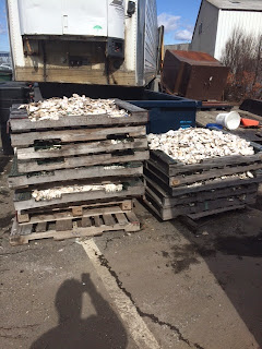 Aged recycled shell for oyster restoration