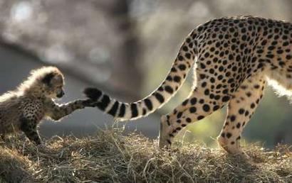 Cheetah adaptations - photo#4
