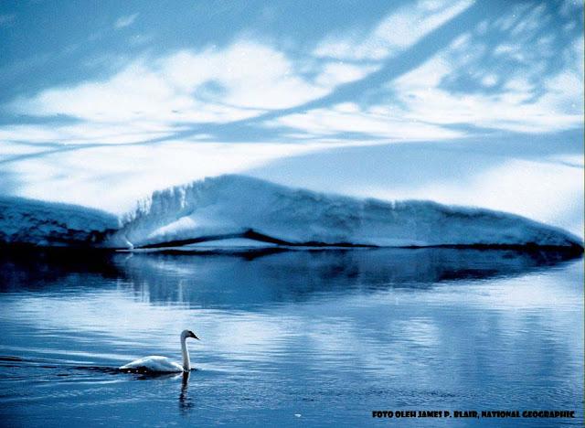 wallaper_Burung_angsa