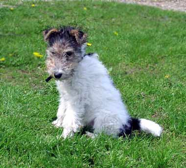 Fox Terrier Puppy Pictures