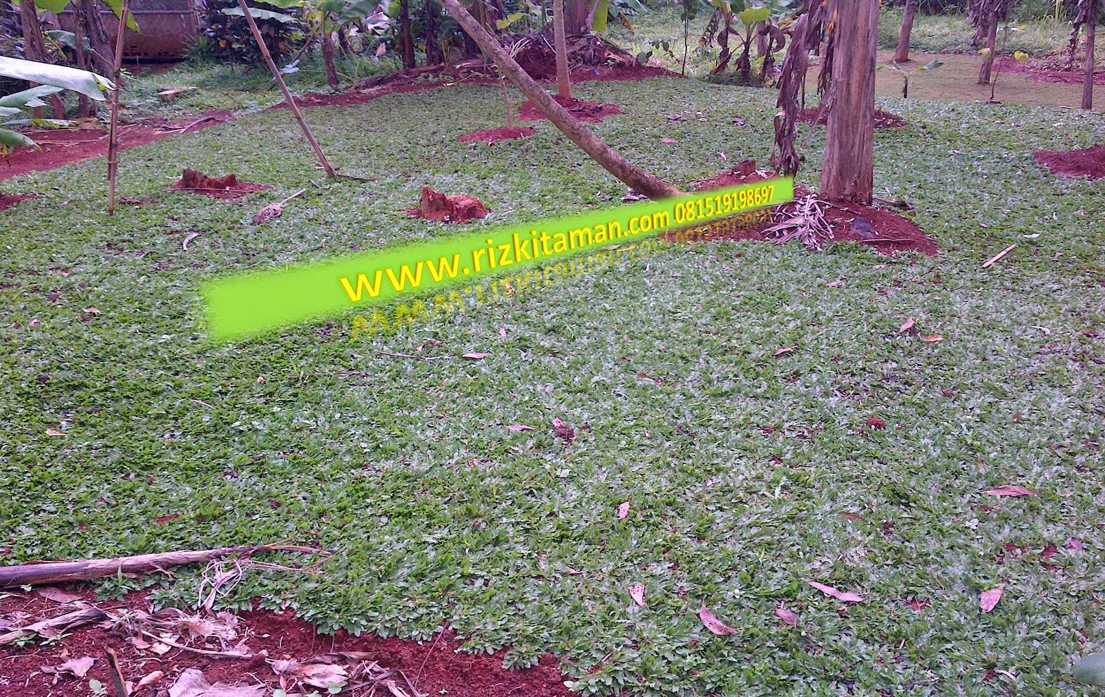 Jual rumput gajah mini sekaligus jasa penanaman rumput dan pembuatan taman | solusi pertamanan