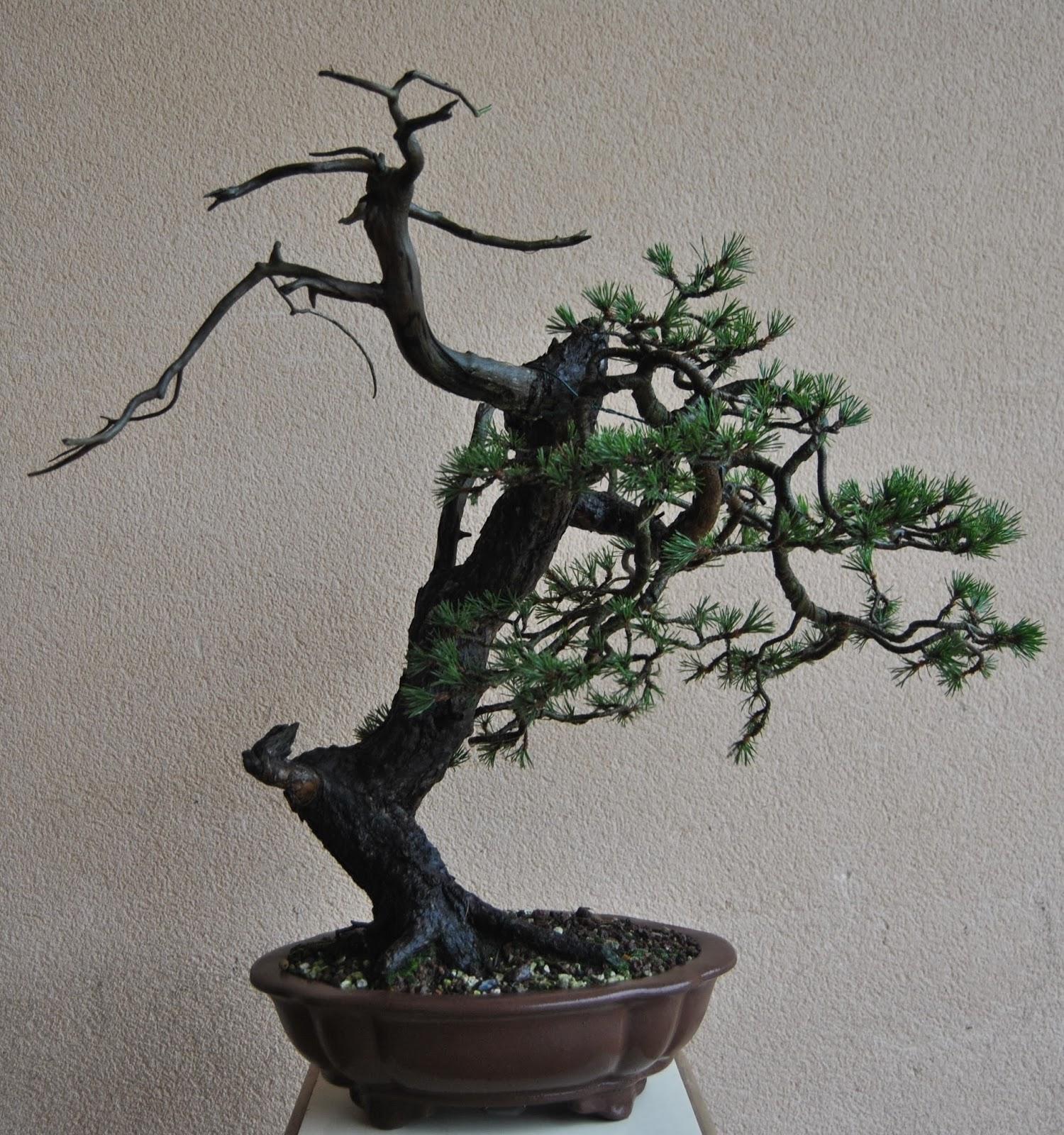 Y por lienzo una maceta nuevo trabajo de juan li ares - Como se cuida un bonsai ...