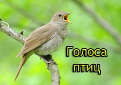 Голоса птиц