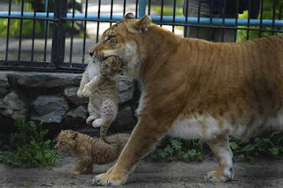 Liger - Hybrid cross between a Male Lion and a Tigress