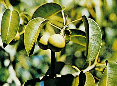 7 Pokok Yang Paling Berbahaya Di Dunia