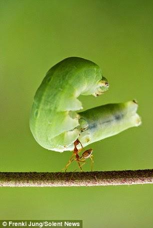 نملة ترفع يرقة 6