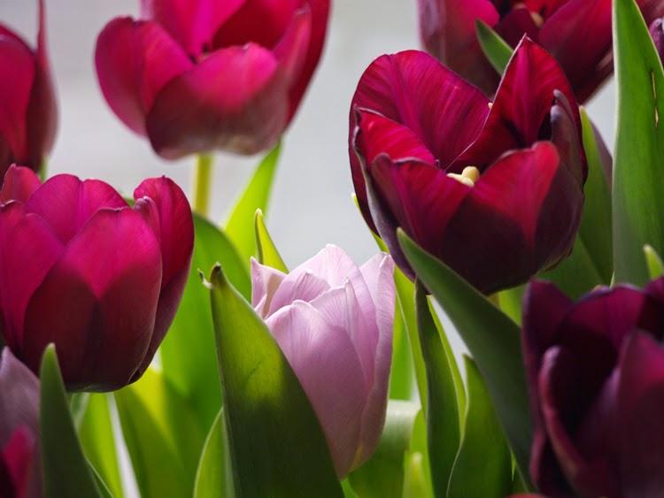 Tulipaner i vase fra Holmegård