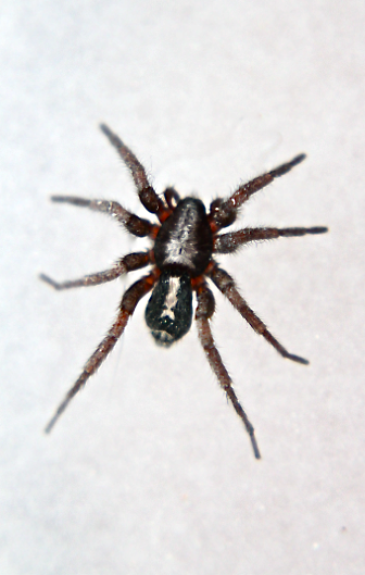 Parson Spider Deadly Kingdom