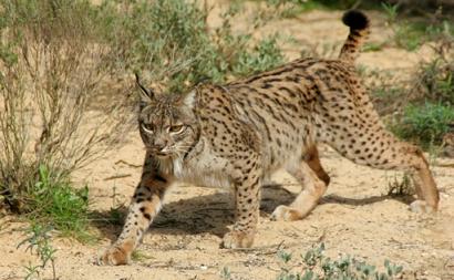 Inventario de Fauna - Lince
