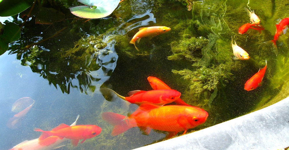 Feltsewgood in the garden for Goldfish pond