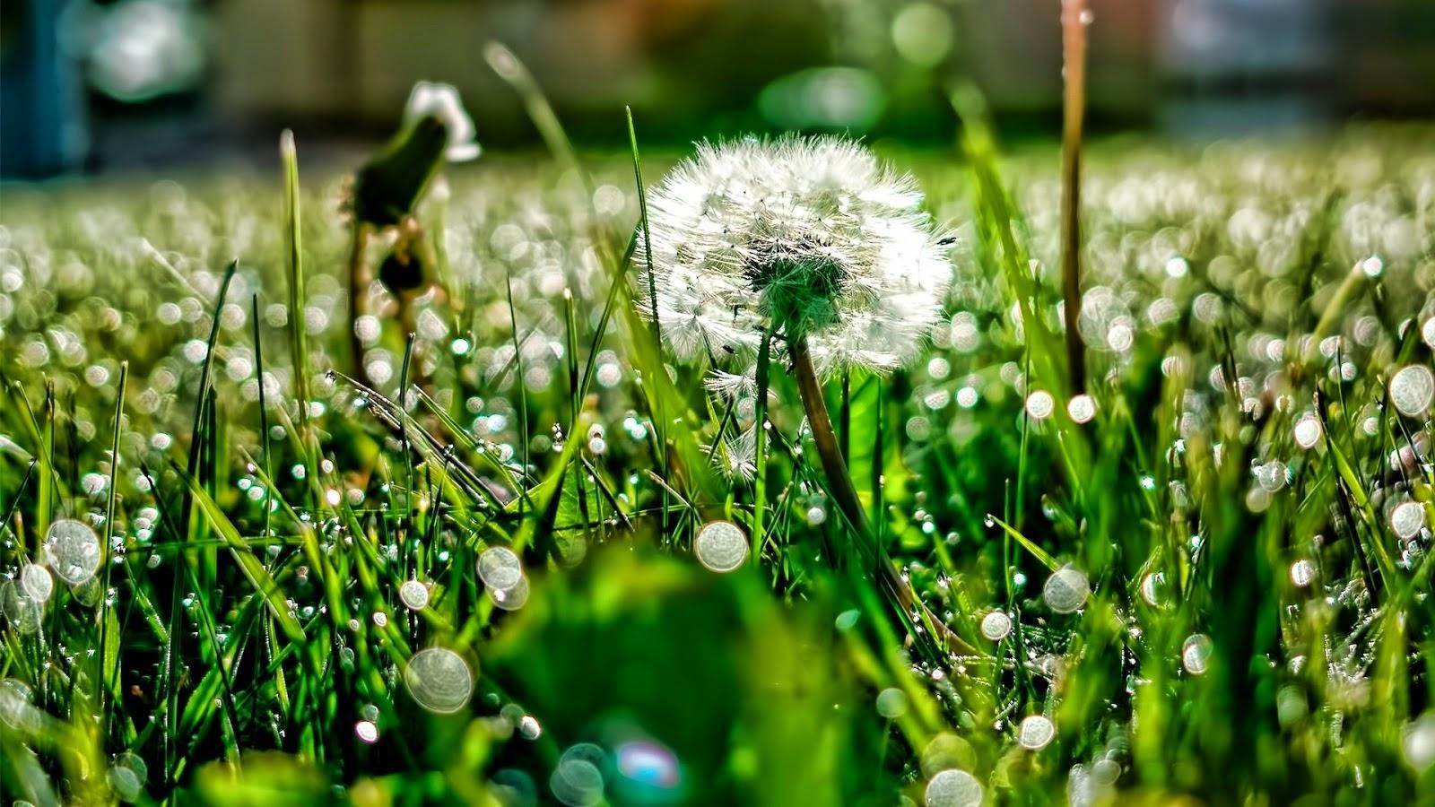 Indah Dan Penuh Arti Bunga Dandelion Rain