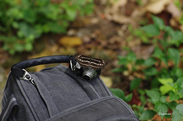 雞南山的小三線蝶。