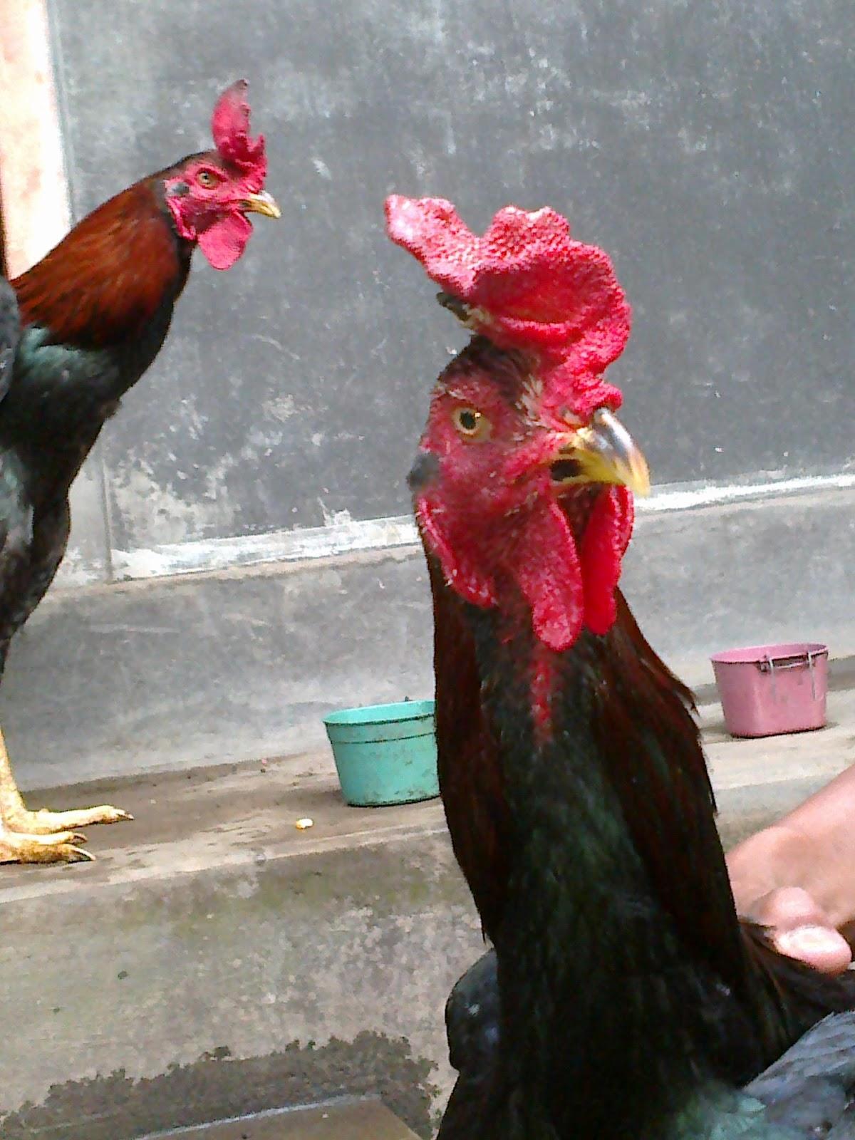Cara Perawatan Ayam Aduan