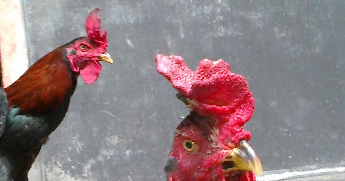 pengobatan perawatan ayam bangkok ayam aduan ayam laga