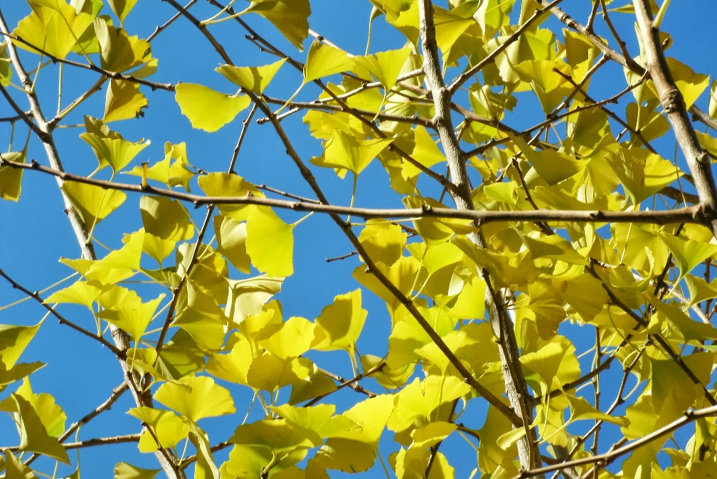 Yellow autumn ginkgo biloba leaves against blue sky by garden muses: a Toronto gardening blog