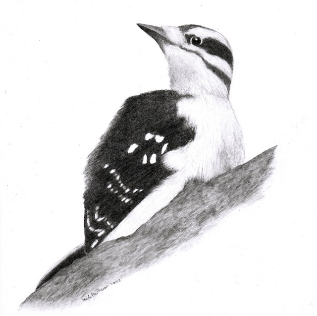 art by nic mac drawing hairy woodpecker