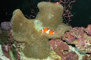 ocellaris clownfish host anemone