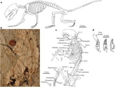 Megaconus squeleton