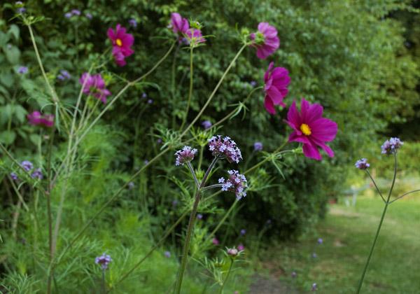 Rabatt med lila jätteverbenor och cerisa rosenskäror.
