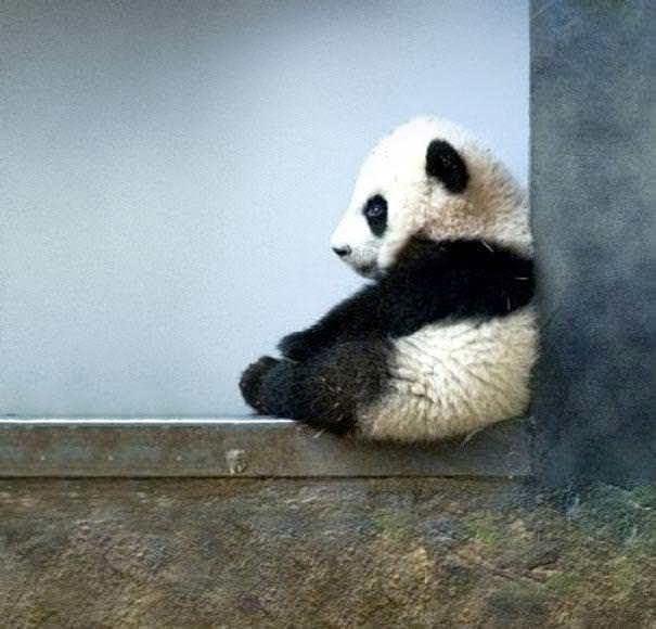 oso panda al nace pesa lo mismo que una taza de te