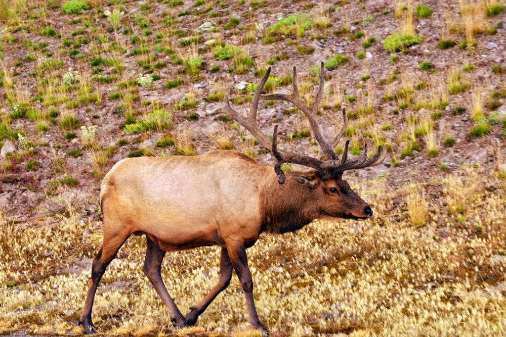Elk 4732