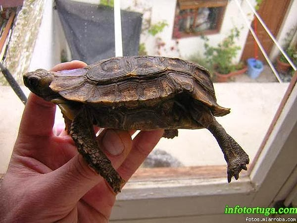Home's hinge-back tortoise - Kinixys homeana