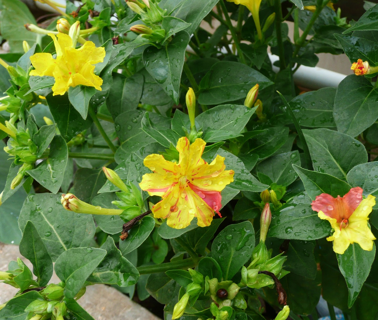 Four O Clock Flowers Organic Gardening