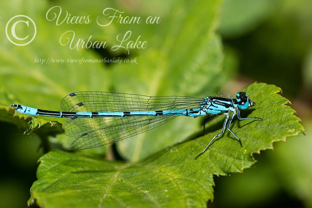 Azure Damselfy, Lodge Lake, Milton Keynes