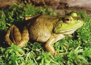 North American Bullfrog | katak amerika utara