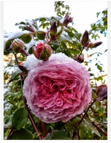 Rosa con nieve