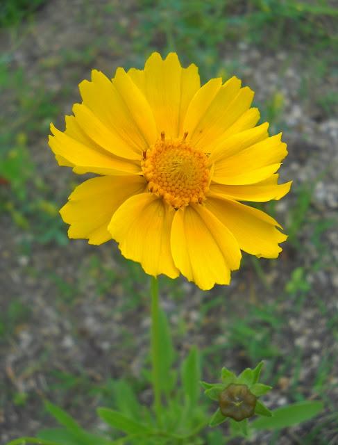Tickseed wildflower at White Rock Lake, Dallas, TX