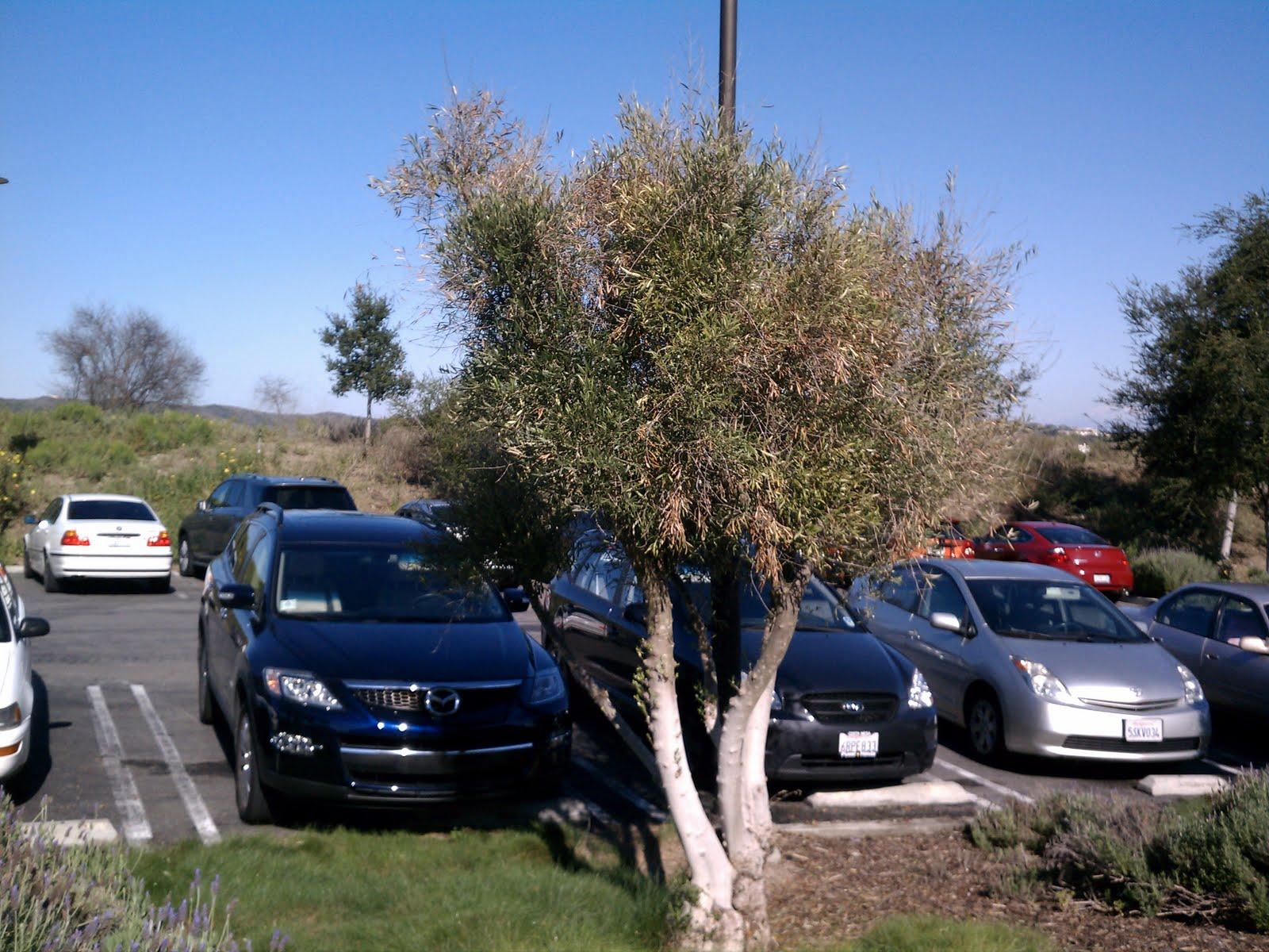Sig Soka Instructional Garden Olive Trees Diseased